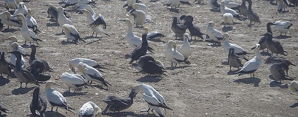 Die Tölpelkolonie in Lamperts Bay