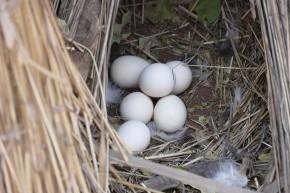 ... sie belohnen's mit reichlich Eiern.