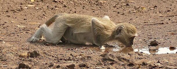 Alles was den Affen bleibt, ist eine Pfütze Wasser.