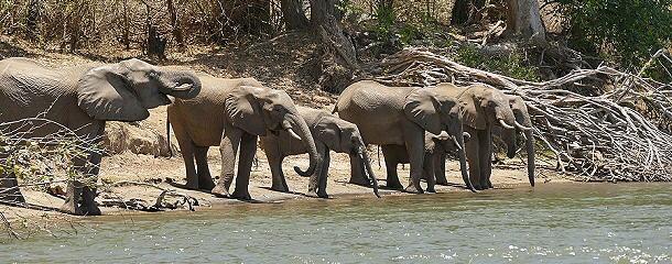 zieht es die Tiere immer wieder zum Ufer des Sambesi