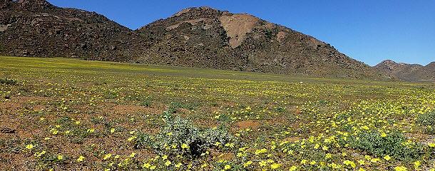 Das Namaqualand für uns in Gelb