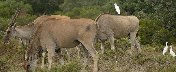 So ein Eland mit den Trampern