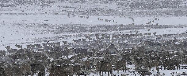 Ob des Schneefalls schauen die Tiere etwas verstört drein