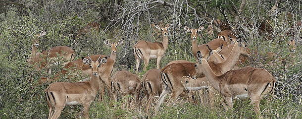 Antilopenherde