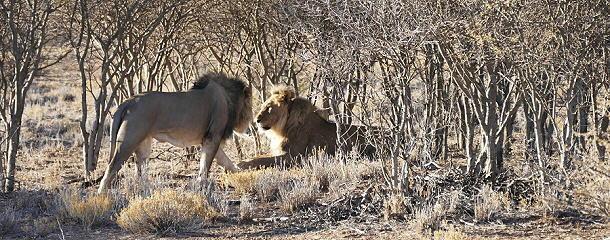 Begrüßung der Löwen