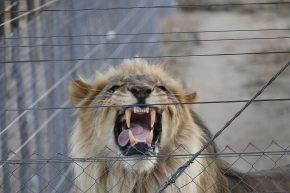 Noch zeigt er seine Zähne hinter Gittern. In wenigen Wochen soll der Löwe ausgewildert werden, dann sind Revierkämpfe zu befürchten. Seine Artgenossen besuchen ihn schon jede Nacht.