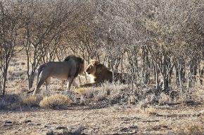 Begrüßung der Löwen...