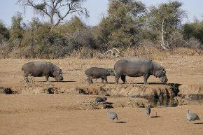 Familie Hippo auf dem Weg zum morgendlichen Bad.
