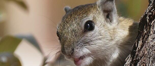 Da lächelt das Hörnchen zufrieden – das Nahrungsangebot in Tiaans Camp ist gut.