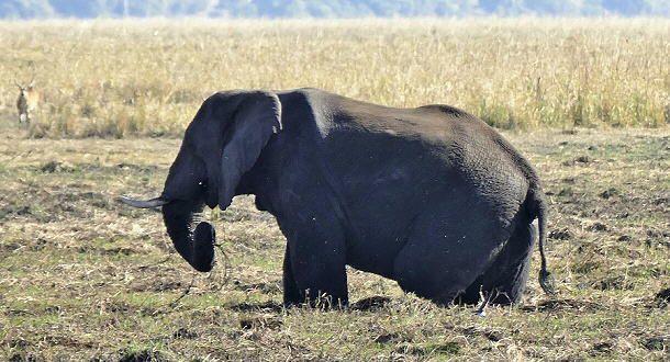 Elefanten sind nicht wasserscheu, und dann stehen sie plötzlich vor der Hütte.