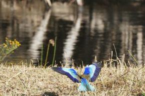 Ein Lilac Breasted Roller, der Botswanische Nationalvogel, im Landeanflug