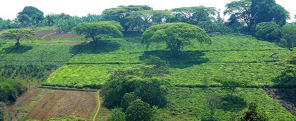 Kaffeeplantagen soweit das Auge reicht in Tansania, im Vordergrund einige Bananenpflanzen.