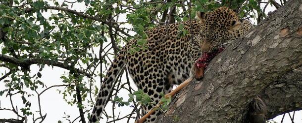 Genüsslich kaut der Leopard an den Restern seiner Antilope