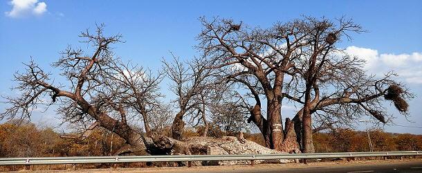 Der größte Bao, den wir je gesehen haben steht an der Straße nach Simbabwe.
