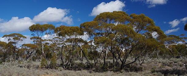 Während der Nullarbor-Durchquerung bestimmt häufig lichter Wald das Bild.