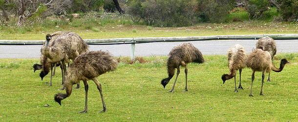 Vorsicht beim Fahren - die Tiere laufen oft unvermittelt über die Straße.