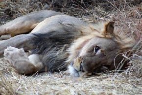 ... und hatten gleich Glück mit diesem Löwen