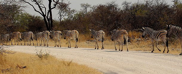Zebraparade