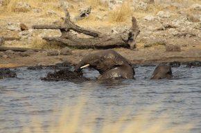 Die Elefanten genießen ihr Bad im Wasserloch.