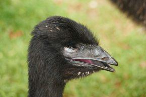 Da grinst der Emu, hatten wir doch in Bright einen der letzten Übernachtungsplätze ergattert.
