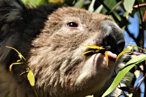 Am nächsten Morgen lachte die Sonne wieder, und die Koalas auf Raymond Island hatten einen guten Appetit.