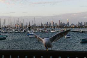 Während die Möwe vor der Kulisse von Melbourne ihren Hunger stillt...