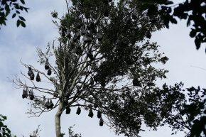 Flugfüchse hatten wir schon in Sydney gesehen, am Manning River hingen wieder tausende dieser lustigen Gesellen in den Bäumen ...