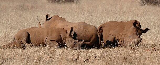Die Nashörner werden in Südafrika immer seltener.