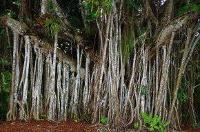 Immer wieder beeindruckend sind die gewaltigen Luftwurzeln eines Feigenbaumes.