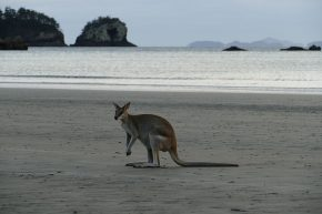 ... aber die Kängurus warten täglich auf ihre Leckereien.