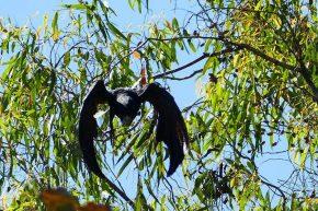 Kein Ufo, sondern ein schwarzer Kakadu, der Kurs auf den Fotografen nimmt.