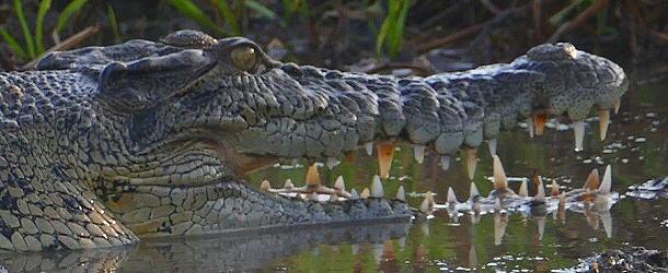 Noch liegen die Krokodile schläfrig am Ufer