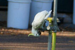 Während der weiße Kakadu seinen Durst löscht...