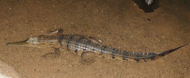 In der Dunkelheit lauern immer wieder Krokodile