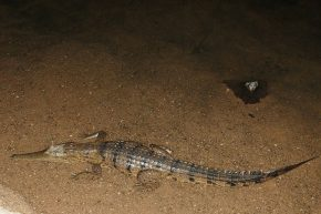 In der Dunkelheit lauern immer wieder Krokodile.