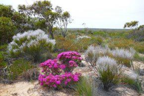 In Westaustralien ist die Wildblumensaison fast vorbei, mancherorts finden sich aber noch einige Blumeninseln.
