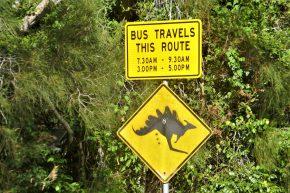 Lange haben wir versucht, ein Känguru beim Kacken zu beobachten, vor allem, ob es dabei einen solchen Kamm aufstellt – leider vergeblich.
